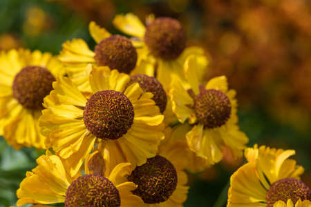 Close up of common sneezeweed (helenium autumnale) flowers in bloom