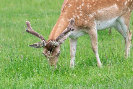 Close up of a fallow deer (dama dama) buck grazing in a meadow