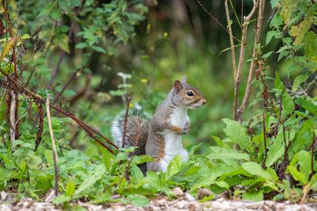 Portrait of an eastern grey squirrel (sciurus carolinensis) standing up