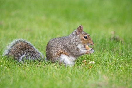 Portrait of an eastern grey squirrel (sciurus carolinensis) eating a monkey nut