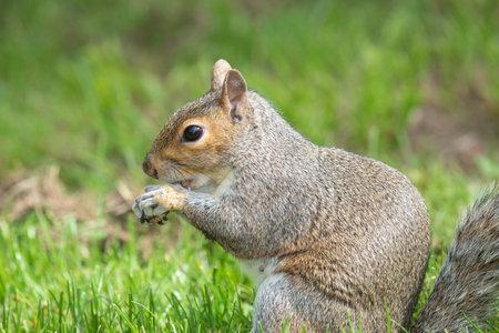 Portrait of an eastern grey squirrel (sciurus carolinensis) eating a nut