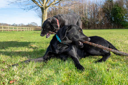 Low angle shot of a two  black Labradors playing with a stick