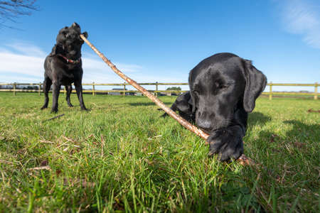 Two black Labradors playing with a stick together