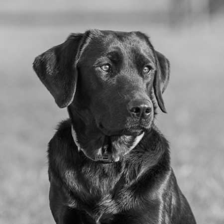Close up portrait of a cute black Labrador sitting down Imagens