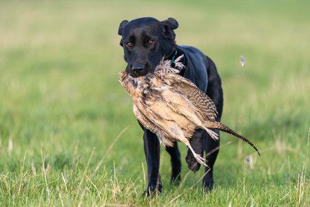 Portrait of a black Labrador retrieving a hen pheasant 写真素材
