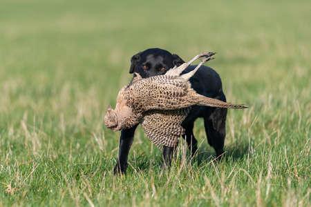 Portrait of a black Labrador retrieving a hen pheasant