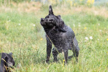 Close up of a pedigree black Labrador shaking off water
