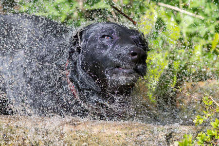 Portrait of a wet black Labrador shaking off water while standing in a water trough