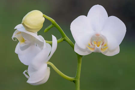 Close up of white moth orchid flowers in bloom