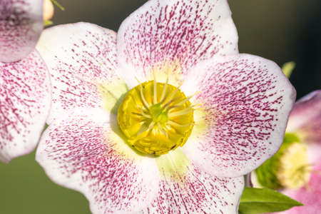 Close up of a pink and white hellebore flower in bloom