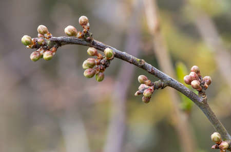 Macro shot of buds on a blackthorn (prunus spinosa) plant Stock Photo