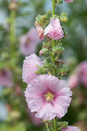 Close up of pink common hollyhock (alcea rosea) flowers in bloom Stock Photo
