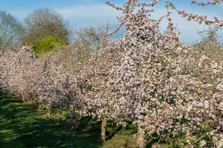 Apple blossom in bloom in a modern cider orchard