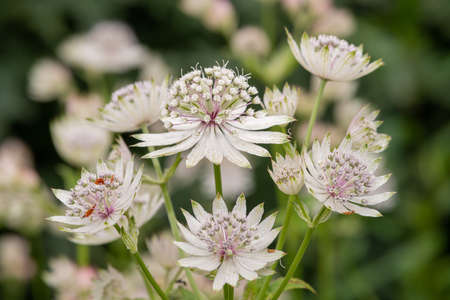 Close up of astrantia flowers in bloom