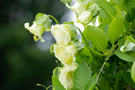 Close up of flowers on a cup and saucer (cobaea scandens) vine