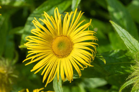 Close up of an Inula Helenium flower in bloom