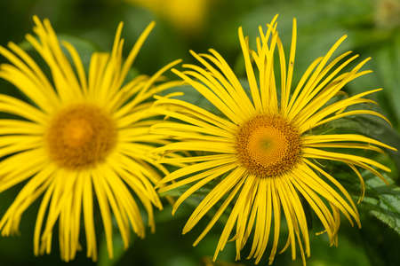 Close up of Inula Helenium flowers in bloom