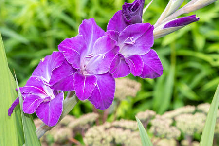 Close up of purple gladiolus flowers in bloom Stock Photo