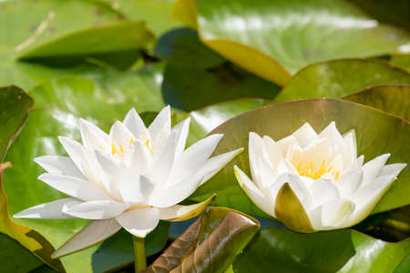 Close up of  Gladstonia water lilies (nymphaea gladstonia) in bloom Stock Photo