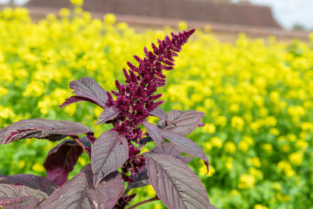 Close up of a Prince of Wales feather (amaranthus hypochondriacus) flower with a yellow background Stock Photo