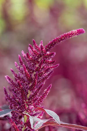 Close up of a Prince of Wales feather (amaranthus hypochondriacus) flower in bloom