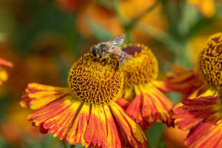 Close up of a honey bee pollinating common sneezeweed (helenium autumnale) flowers Stock Photo