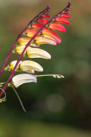 Close up of fire vine (ipomoea lobata) flowers in bloom Stock Photo