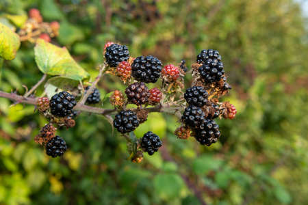 Close up of a bunch of blackberries Stock Photo