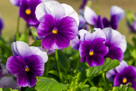 Close up of purple pansies in bloom Stock Photo