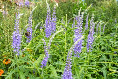 Close up of garden speedwell (veronica longifolia) flowers in bloom