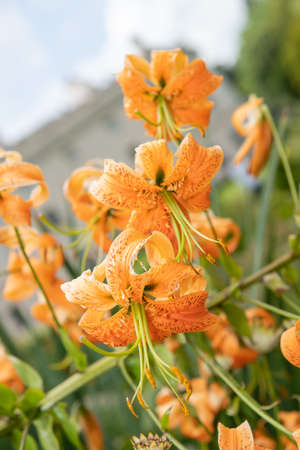 Tiger lily (lilium henryi) flowers in bloom Stock Photo