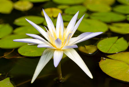 Close up of a Gladstonia water lily (nymphaea gladstonia) in bloom Stock Photo