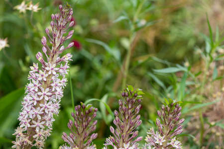 Close up of pineapple lily (eucomis comosa) flowers in bloom