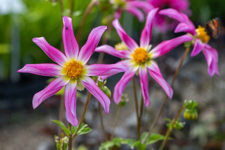 Close up of Honka Rose dahlia flowers in bloom