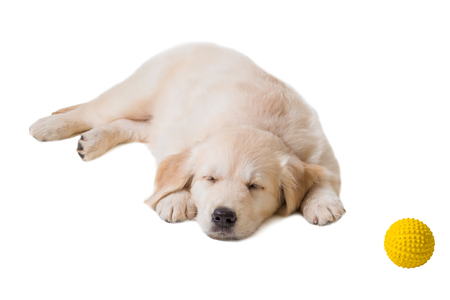 puppy golden retriever on a white background isolated. sleeping
