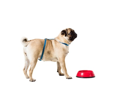 carlin: Pug dog isolated on white background. He is sitting near the bowl, waiting for food Stock Photo