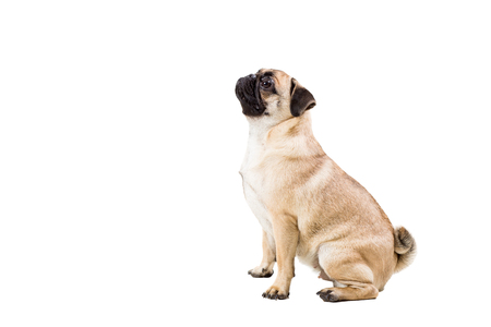 carlin: Pug dog isolated on white background. He is sitting watching with interest