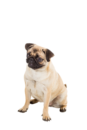 Pug dog isolated on white background. He is sitting watching with interest