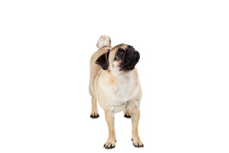 carlin: Pug dog isolated on white background. standing and looking