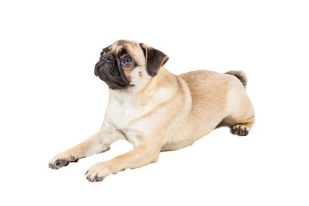 carlin: Pug dog isolated on white background. dog lies and looks