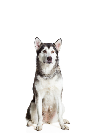 Alaskan Malamute sitting in front of the camera, isolated on white