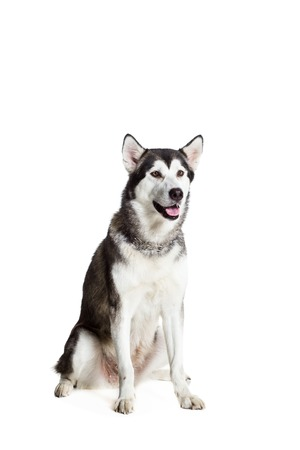 alaskian: Alaskan Malamute sitting in front of the camera, isolated on white