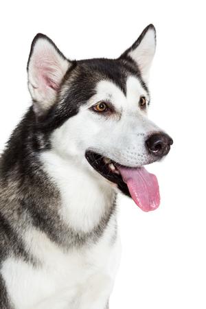 alaskian: Portrait Alaskan Malamute, isolated on white. Close-up. Beautiful dog