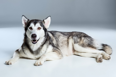 Alaskan Malamute lying and looking at the camera, sticking the tongue out, on gray background
