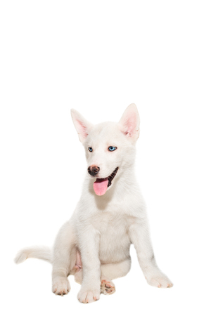 Puppy breed the Huskies isolated on white background. The most charismatic puppy Stock Photo