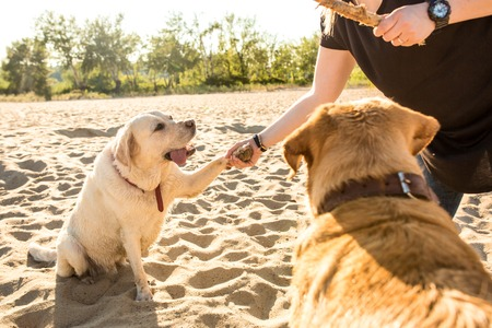 labrador teeth: Two labrador friends playing on the beach. Two labradors on the sand with a young woman