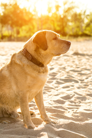 huge tree: Yellow Labrador Retriever sitting on the beach, green trees is in the background. Sun flare Stock Photo
