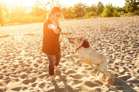 Dog labrador head outdoors in nature performs a commands. Sun flare Stock Photo