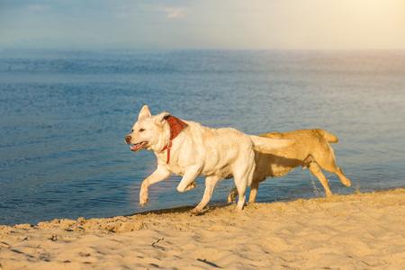 Golden Labrador retrievers having fun running along beach. Two Labradors, yellow and white, run along the sand next to the river