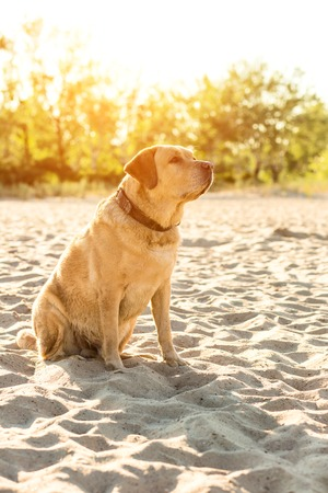 huge tree: Yellow Labrador Retriever sitting on the beach, green trees is in the background. The dog sits on the sand, looks away. Sun flare